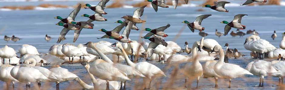 Swans & Flying Mallards Wildfowl Unlimited